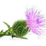 Support Your Liver with Milk Thistle